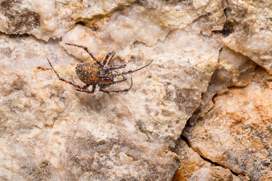European Cave Spider (Meta menardi) covered in water droplets in a limestone cave. Peak District National Park, Derbyhsire, UK. January.