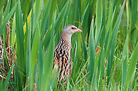 Corn Crake Crex crex L 27-30cm. Easy to hear (in right locations) but secretive and tricky to see. Sexes are similar. Adult has sandy brown upperparts; dark feather-centres create 'scaly' look. Face, throat, breast and belly are blue-grey while flanks are barred chestnut and white. In flight, note chestnut patch on inner wing and dangling legs. Juvenile is greyer than adult. Voice Territorial male utters ceaseless crek-crek, crek-crek… mainly at night. Status Migrant visitor; has declined terribly due to modern farming practises. Now restricted to hay meadows and damp grassland.