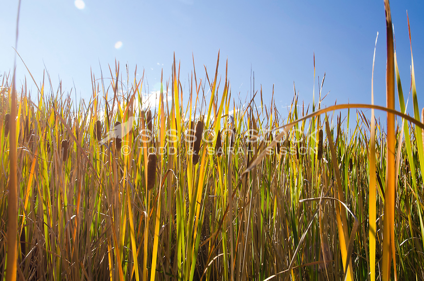 Low angle, bullrushes, Bannockburn, Central Otago, New Zealand - stock photo, canvas, fine art print