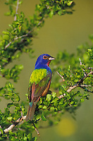Painted Bunting, Passerina ciris,male, Willacy County, Rio Grande Valley, Texas, USA