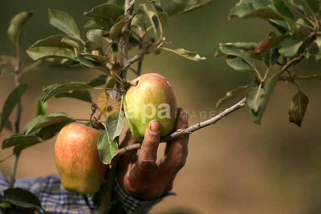 """Palestinian Farmers harvest """" Apples"""" from their farms in Khan Younis in the southern Gaza Strip, on June 8, 2013. Palestinian Companies success in rented a liberated territories in the Southern of Gaza Strip in a production of apple harvest, which Farmers predict that the harvest of apples production will increase 1000 tons in this year. Photo by Eyad Al Baba"""