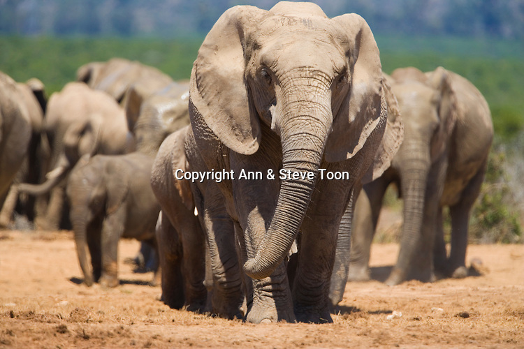 African elephant, Loxodonta africana, Addo Elephant National Park, South Africa