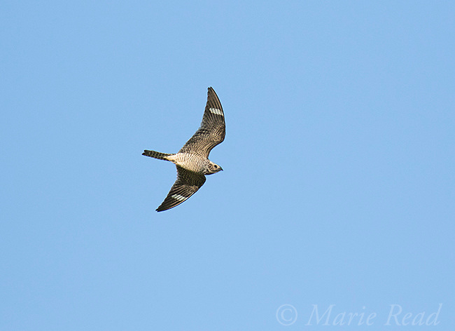 Common Nighthawk (Chordeiles minor) female in flight, Bowdoin National Wildlife Refuge, Montana, USA