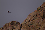 Himalayan Griffon (Gyps himalayensis) vulture flying in mountains, Pikertyk, Tien Shan Mountains, eastern Kyrgyzstan
