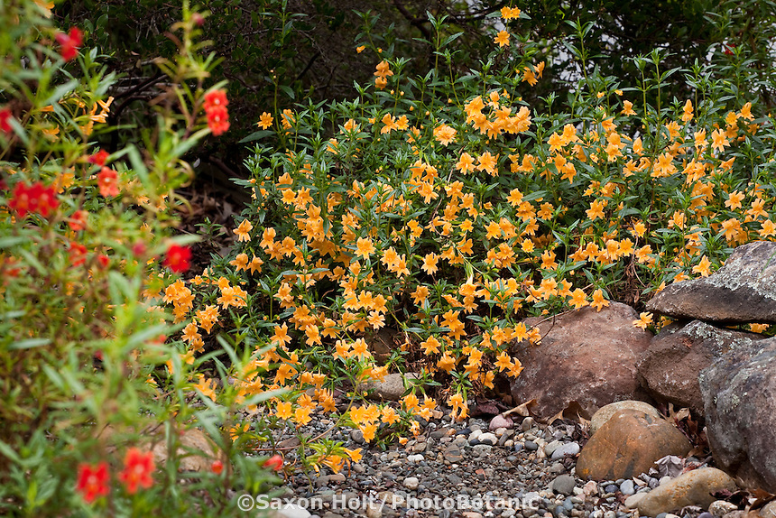 Orange flowering subshrub Sticky Monkey (Mimulus or Diplacus aurantiacus)  by rocky dry stream in Kyte California native plant gardenKyte California native plant garden