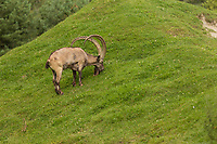 A Yanghir (Siberian ibex, Capra sibirica) is seen at the Zoo Sauvage in St. Felicien, Quebec Friday August 25, 2017.