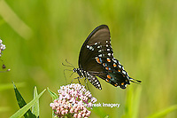 03029-01316 Spicebush Swallowtail butterfly (Papilio troilus) on Swamp Milkweed (Asclepias incarnata) Marion Co., IL