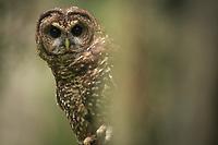 Spotted Owl (Dtrix occidentalis). Willamette National Forest, Oregon. June.