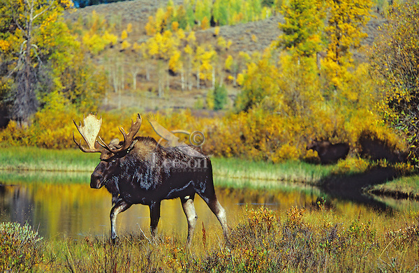 Bull moose (Alces alces), Grand Teton National Park, Wyoming.  Fall.  Note: there is a cow moose in out-of-focus background.