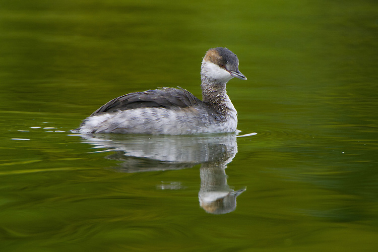 Red-necked Grebe swimming on a pond