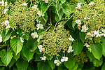 Climbing hydrangeas at the Arnold Arboretum in Jamaica Plain, Boston, Massachusetts, USA