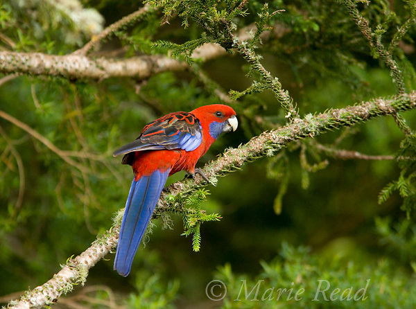 Crimson Rosella (Platycercus elegans), Lamington National Park, Queensland, Australia