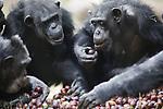 Foto: VidiPhoto<br /> <br /> ARNHEM &ndash; Uitstekend te pruimen, vinden de chimpansees en ringstaartmaki&rsquo;s van Burgers&rsquo; Zoo in Arnhem. De dieren werden woensdag verrast met een pallet smaakvolle pruimen (318 kg) van teler Frederik Bunt uit het Betuwse Slijk-Ewijk, de grootste pruimenteler van ons land. Omdat supermarkten en verwerkende industrie de pruimen vanwege de droogte te klein vinden (2 mm), moet Bunt de lekkernij verwerken tot mest, een schadepost van ruim 100.000 euro. Inmiddels heeft hij al 50 ton vruchten moeten storten. Na overleg met de Arnhemse dierentuin, mocht hij woensdag een pallet pruimen komen brengen voor de dieren. Pruimen staan normaal gesproken vrijwel nooit op het menu omdat ze te duur zijn en omdat fruit teveel suikers bevatten. Dieren zijn er echter dol op. Voor de chimpansees en maki&rsquo;s werd het daarom een ongekend pruimenfeest, mede omdat de pruimen dit jaar zoeter en dus lekkerder zijn dan ooit. En voor de maki&rsquo;s waren de pruimen in ieder geval groot genoeg. De andere dieren van het park worden de komende dagen verrast.