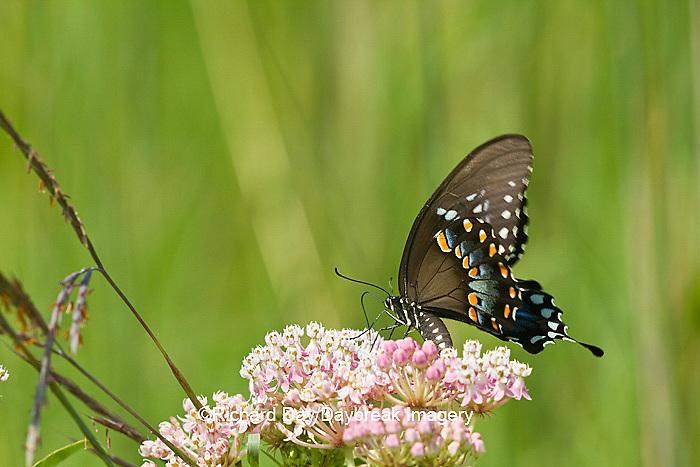 03029-01311 Spicebush Swallowtail butterfly (Papilio troilus) on Swamp Milkweed (Asclepias incarnata) Marion Co., IL