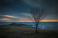 Naket träd vid mörkt höst hav på Torö vid Östersjön.