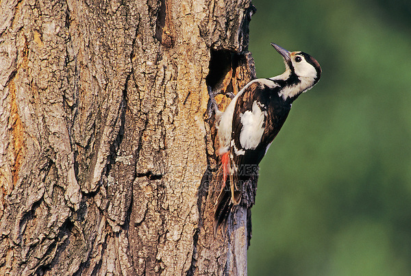 Syrian Woodpecker, Dendrocopos syriacus, female at nesting cavity, Illmitz, Lake of Neusiedl, Austria, Europe
