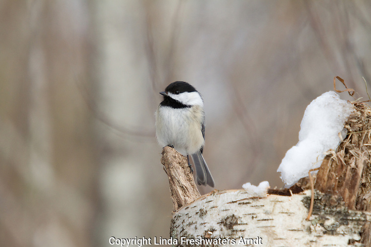 Black-capped chickadee in Wisconsin
