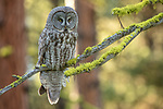 Great gray owl, Blue Mountains, Oregon