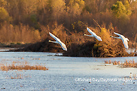 00758-02106 Trumpeter Swans (Cygnus buccinator) in flight Riverlands Migratory Bird Sanctuary St. Charles Co., MO