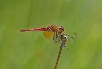 362650004 a wild male cardinal meadowhawk sympetrum illotum perches on a dead flower stalk near a pond at snow flats graham county arizona