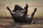Cape buffalo, Syncerus caffer, mudbathing, Addo Elephant National Park, South Africa