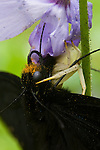 Pipevine Swallowtail (Battus philenor) and Whitebanded Crab Spider (Misumenoides formosipes)