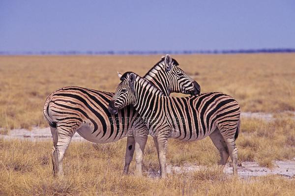 Plains Zebras (Equus quagga), pair, Namibia, Africa