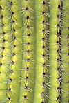 Organ pipe cactus (Cereus thurberi), Organ Pipe Cactus National Monument, Arizona