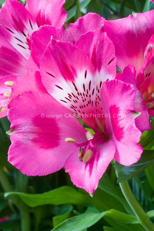 Alstroemeria 'Intichantha Imala' pink and white flowers