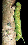 Hawk Moth Caterpillar, Sphingidae, Belize, Central America, green
