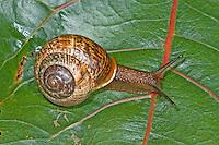Gefleckte-Schnirkelschnecke, Gefleckte Schnirkelschnecke, Gefleckte Bänderschnecke, Baumschnecke, Schnirkel-Schnecke, Arianta arbustorum, orchard snail, copse snail