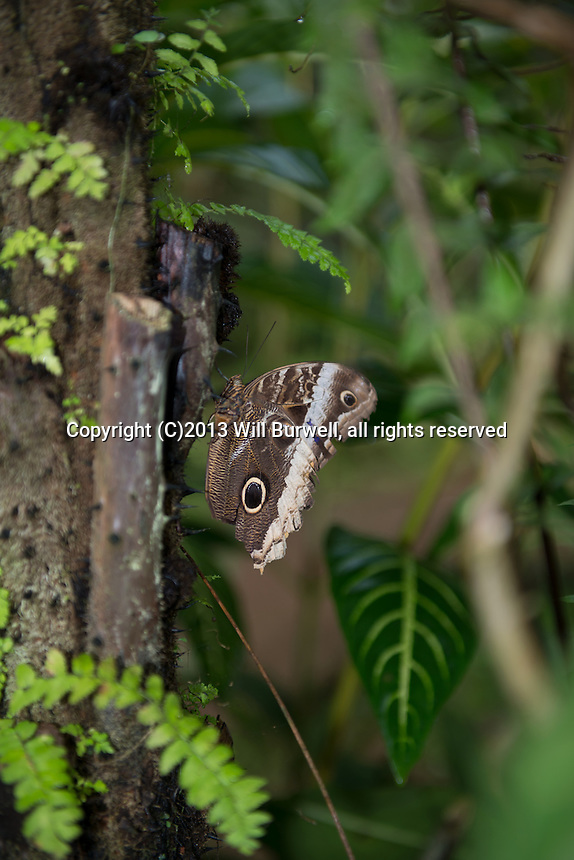 Owl Butterfly on a tree