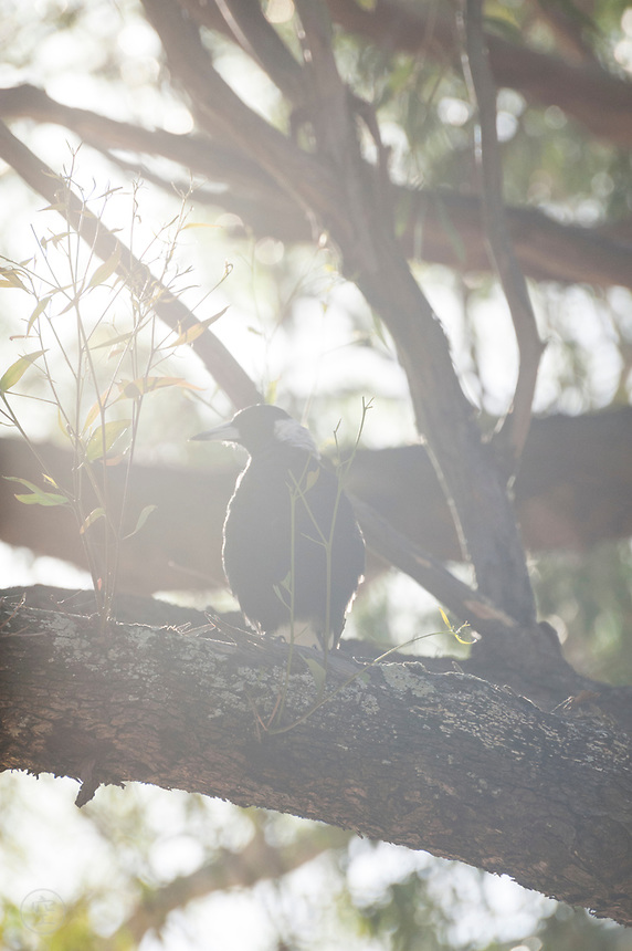 Evening sunlight backlights an Australian magpie on its perch on a eucalyptus branch.