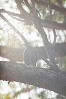 Evening sunlight backlights an Australian magpie on its perch on a eucalyptus branch.