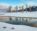 Yellowstone National Park, Wyoming/Montana:<br /> Cottonwood trees in the Lamar Valley reflecting on an open river channel