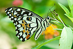 Lime butterfly ( Papilio demoleus malayanus)