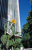 A sunflower growing at the foot of a high-rise tower on a Camden Council housing estate.