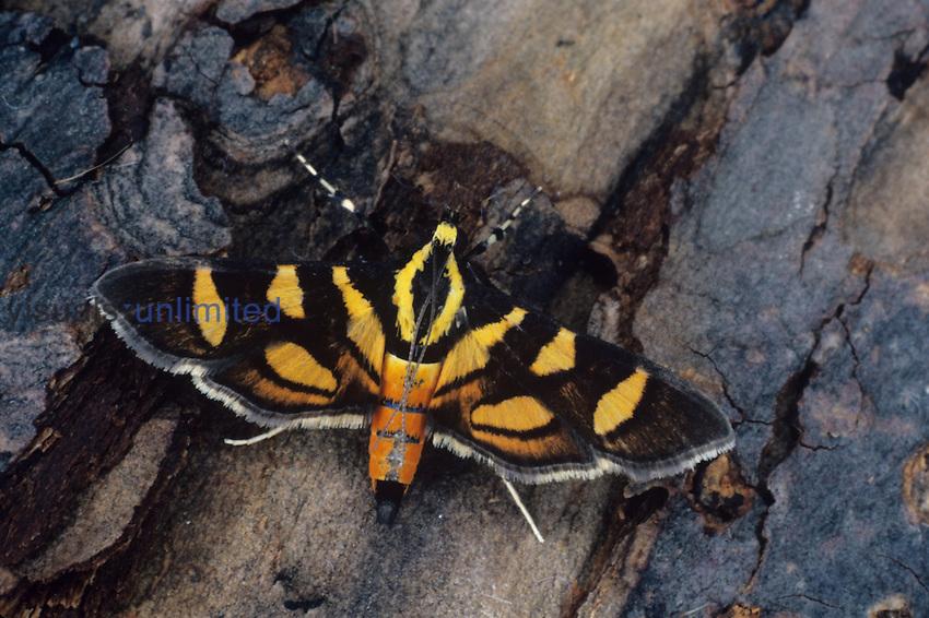 Pyralid Moth (Syngamia florella), Family Pyralidae, Florida, USA.