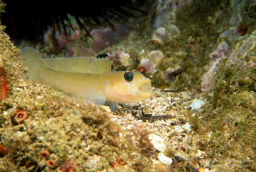 Santa Cruz Island, Channel Islands National Park and National Marine Sanctuary, California; a Blackeye Goby (Rhinogobiops nicholsii) fish sits with it's mouth open on the rocky reef, range from Queen Charlotte Islands, British Columbia to Punta Rompiente, Baja California, previously in genus Coryphopterus , Copyright © Matthew Meier, matthewmeierphoto.com All Rights Reserved