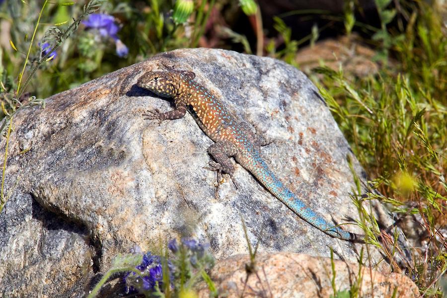 Common side-blotched lizard (Uta stansburiana) in Anza Borrego Desert State Park, California.
