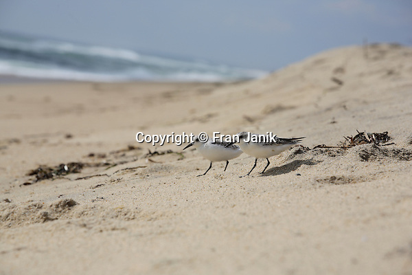 Two Piping Plover sea birds walk down to the surf to find a meal.  Location: Southbeach on Martha's Vineyard