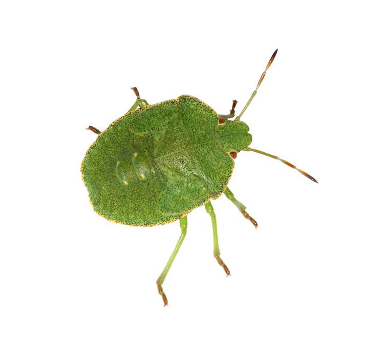 Green Shieldbug nymph - Palomena prasina