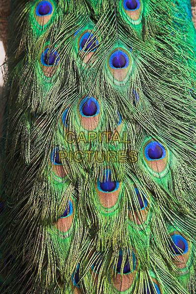 Peacock, Havana, La Habana Vieja, Cuba
