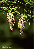 LE23-001b  Moth - bagworm hanging from tree, larva of moth with surrounding case - Thyridopteryx ephemeraeformis