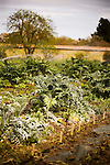 "DAVIS - APRIL 15: Bio-gardener Raoul Adamchak's farm, at UC Davis, n Davis, Ca., on Friday, April 15, 2011. Husband and wife team Pamela Ronald, a plant geneticist, and Raoul Adamchak, a bio-gardener co-authored, ""Tomorrow's Table: Organic Farming, Genetic and the Future of Food."""