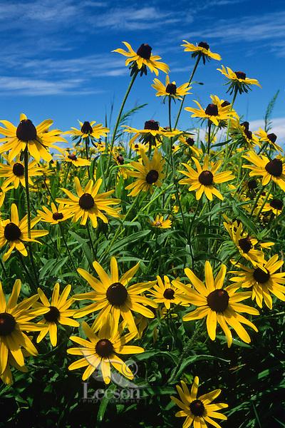 Brown-eyed susans or Black-eyed Susans, Tall Grass Prairie, IA.