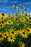 Brown-eyed susans or Black-eyed Susans, Tall Grass Prairie, IA.