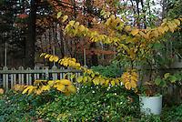 Hosta and Hamamelis Pallida witchhazel in autumn fall foliage color with picket fence, Helleborus