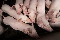 GERMANY, Schleswig Holstein, pig breeding in stable / DEUTSCHLAND, Schweinehaltung im Stall