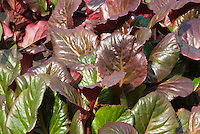 Bergenia Stock Photos